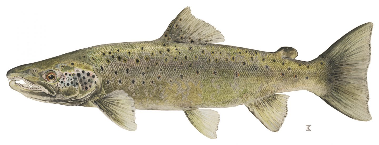 Lohi (salmo salar). Kuva: NYS DEC / Flickr (CC BY-NC-ND 2.0)