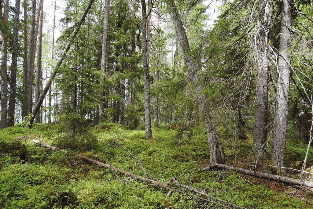 Metsä Oulujärven Kaarresalossa.