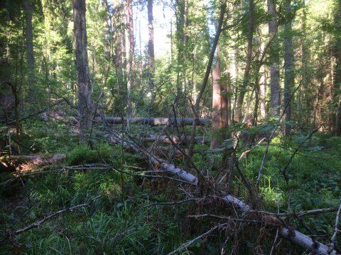 Haukkavuori kerava, kaatuneita puita, maapuut