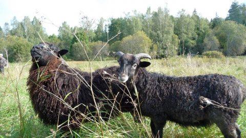 Lampaat laiduntavat Stensbölessä