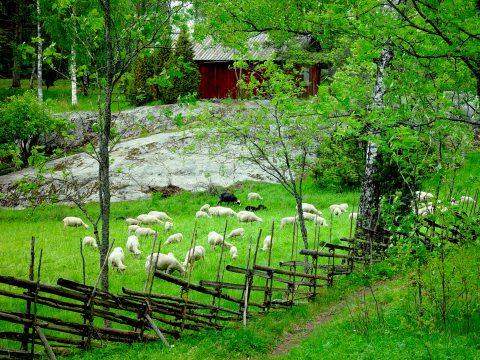 Lampaita laiduntamassa perinneniityllä