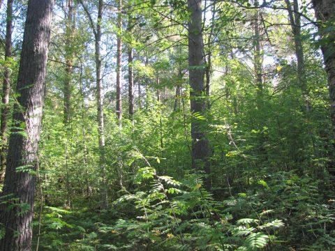 rehevää metsää Hietasaaresta